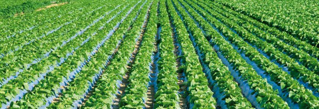 Feld mit Feldfrüchten